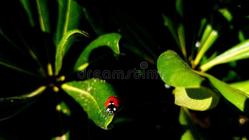 在绿色叶子的瓢虫在一好日子 免版税库存照片