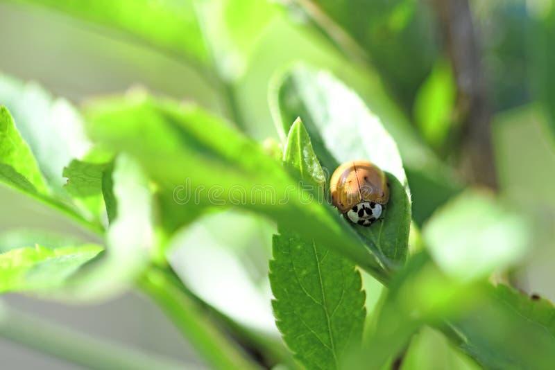 在绿色叶子的瓢虫- 免版税图库摄影