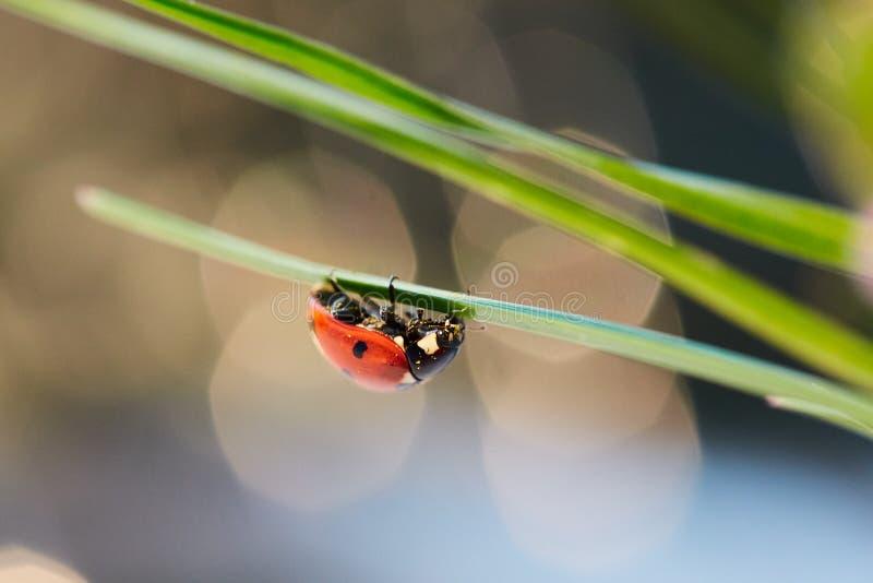 在绿色叶子的瓢虫 免版税库存照片