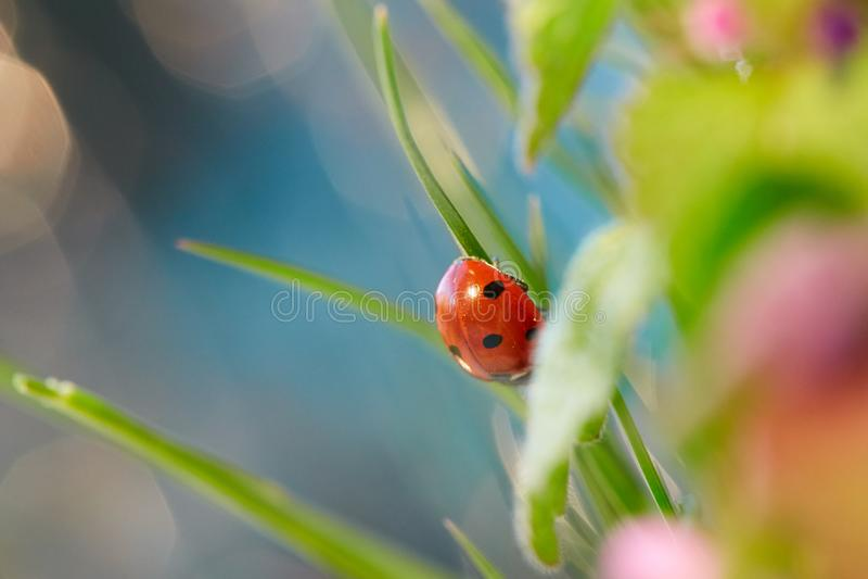 在绿色叶子的瓢虫 库存照片