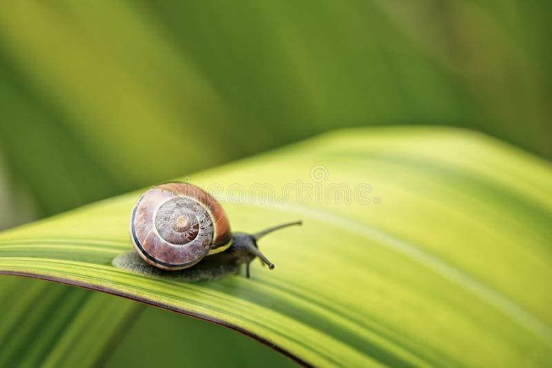 在绿色叶子的蜗牛 免版税库存照片