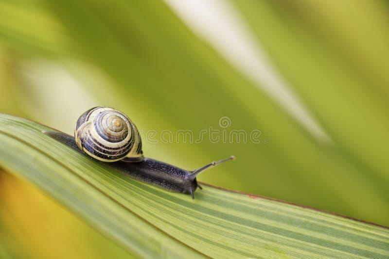 在绿色叶子的蜗牛 图库摄影