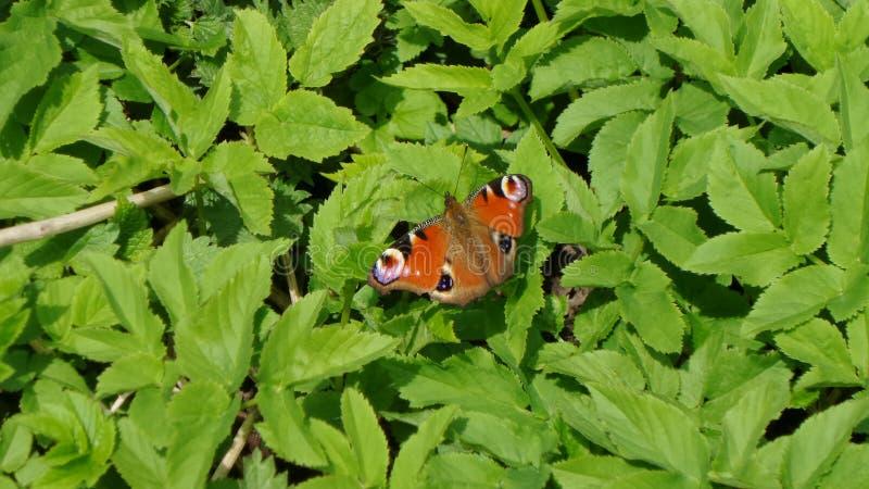 在绿色叶子的蝴蝶就座 免版税库存图片