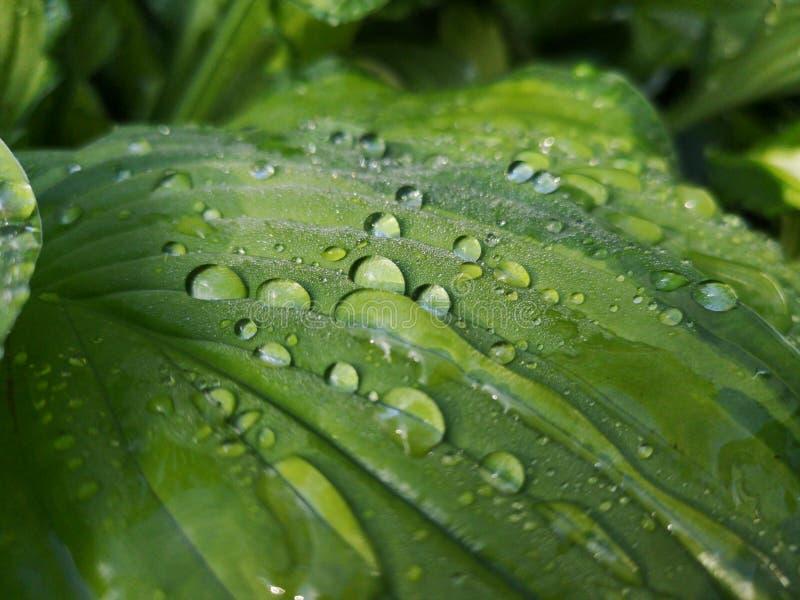 在绿色叶子的雨珠特写镜头 免版税库存图片