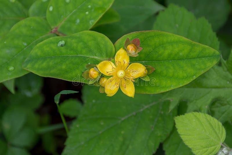 在绿色叶子的黄色花 免版税库存照片
