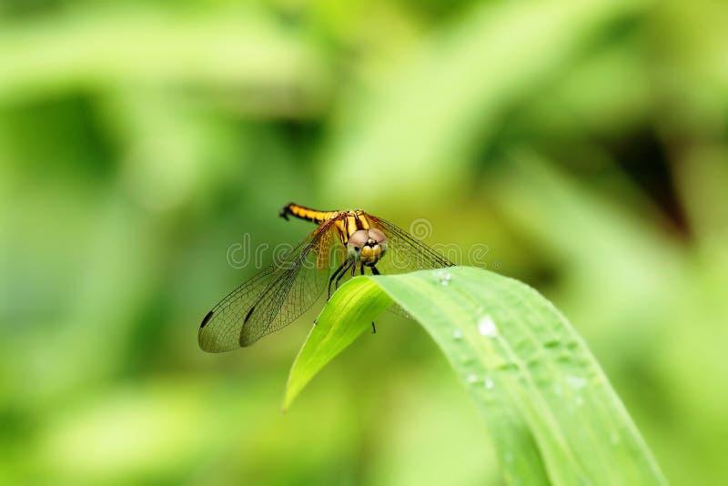 在绿色叶子的黄色蜻蜓 免版税库存图片