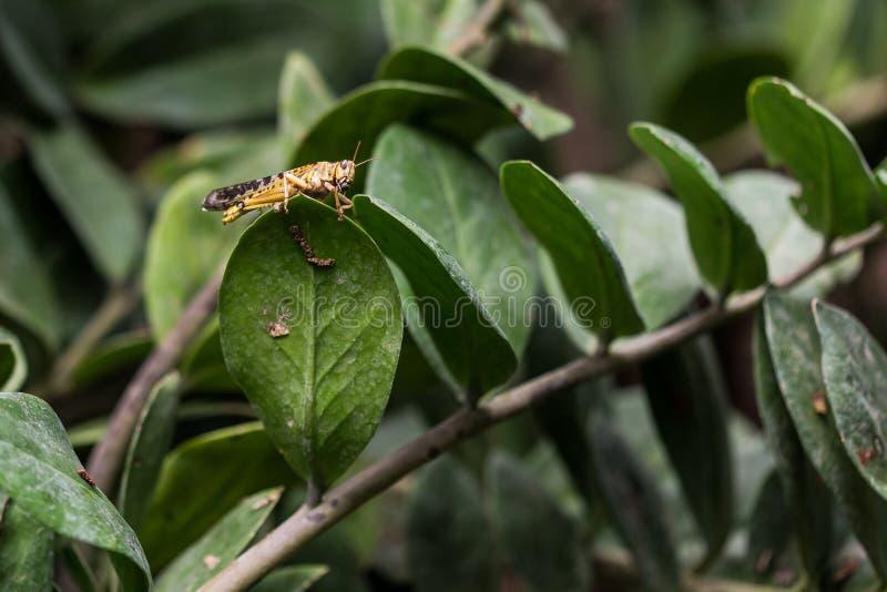 在绿色叶子的黄色野生龙虾 免版税库存照片