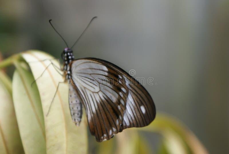在绿色叶子的Elegent蝴蝶 免版税库存图片