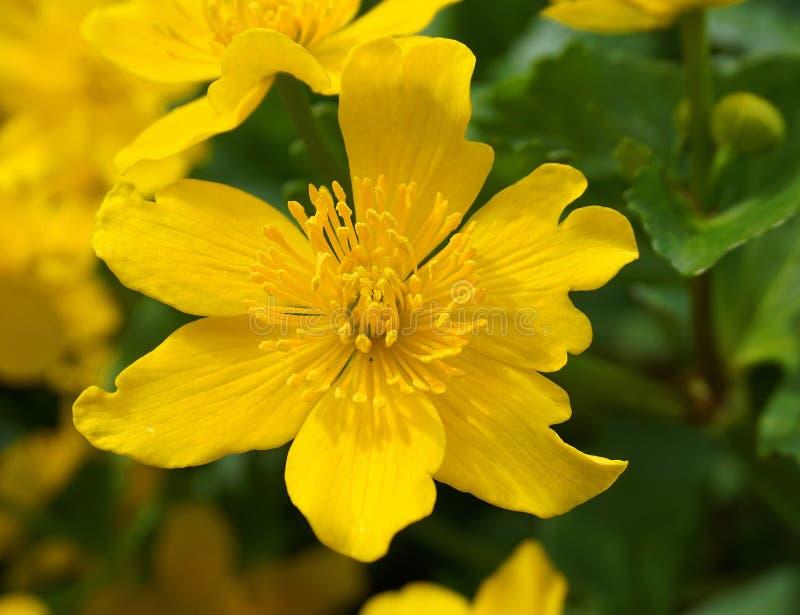 在绿色叶子背景关闭的明亮的黄色猿猴草属花 猿猴草属palustris,叫作沼泽万寿菊和kingcup花 免版税库存图片