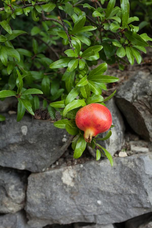 在绿色叶子背景的可口石榴果子 图库摄影