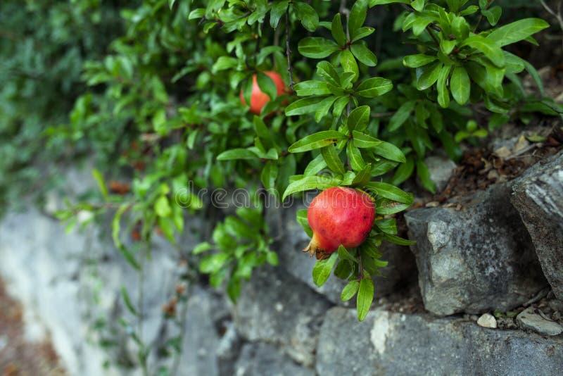 在绿色叶子背景的可口石榴果子 库存照片