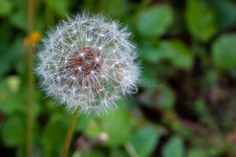 在绿色叶子背景的开花的蒲公英  库存图片
