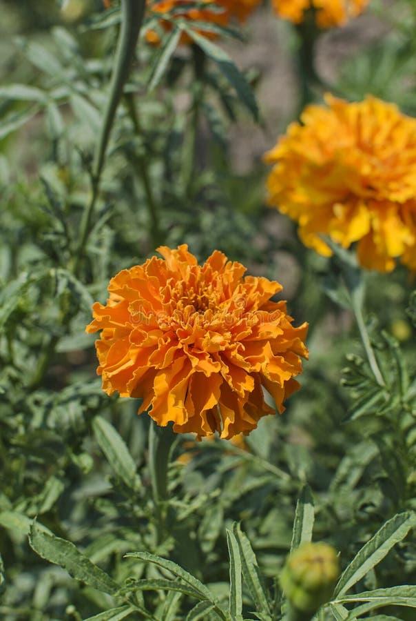 在绿色叶子背景的橙色Tagetes万寿菊花  库存图片