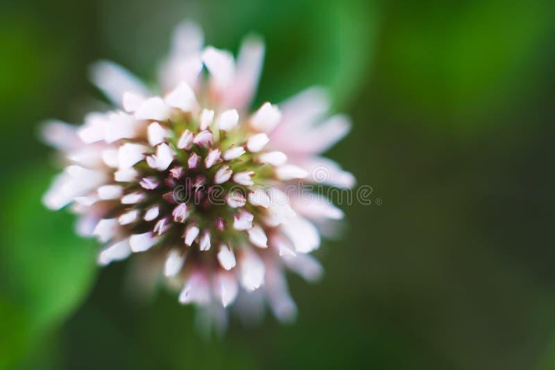 在绿色叶子背景的白花三叶草在夏天 库存照片