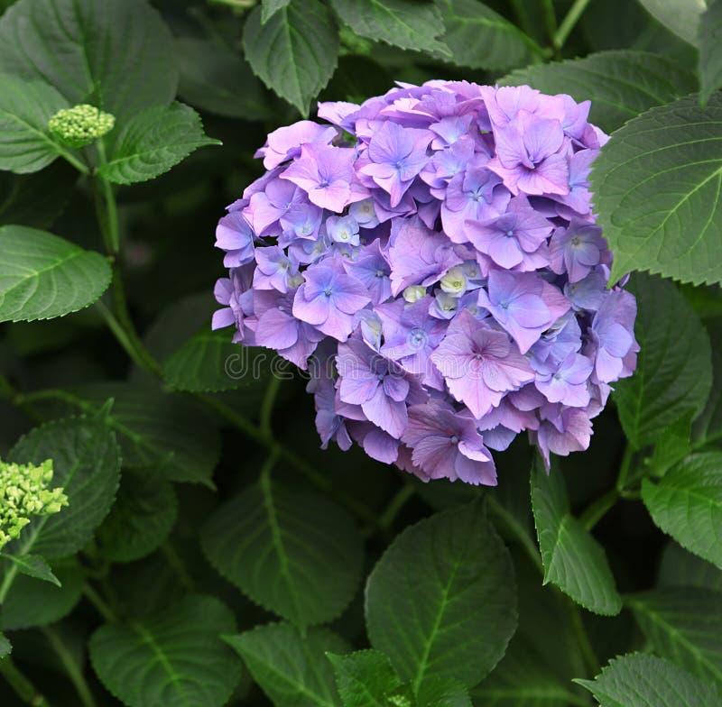 在绿色叶子背景的蓝色八仙花属 免版税图库摄影