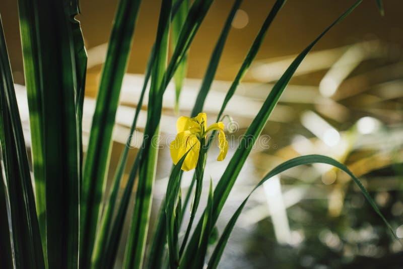 在绿色叶子背景的黄色虹膜 在水附近的虹膜pseudacorus在日落 r 黄色花卉生长 图库摄影