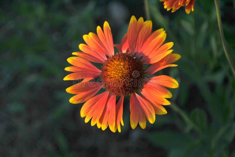 在绿色叶子被弄脏的背景的橙黄花天人菊属植物特写镜头  免版税库存图片