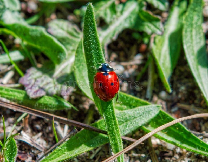 在绿色叶子,未聚焦的背景的红色瓢虫 免版税库存图片