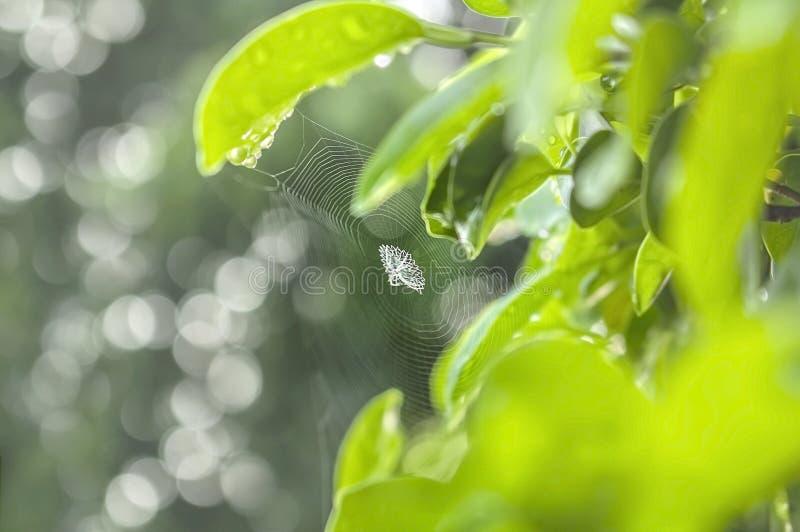在绿色叶子, Bokeh背景之间的蜘蛛网 库存图片