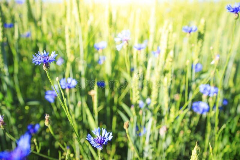 在绿色夏天草甸的蓝色花 在春天领域的草本和花 背景蓝色云彩调遣草绿色本质天空空白小束 免版税库存图片