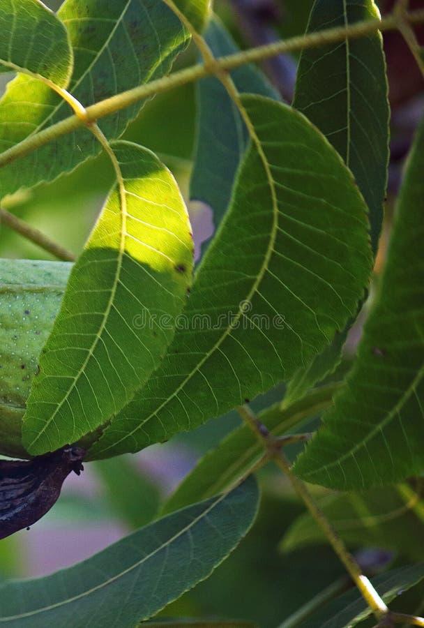 在绿色山核桃果叶子的光 免版税库存图片