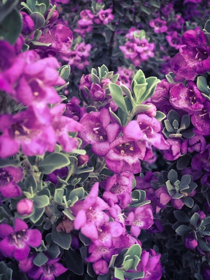 在绿色布什背景的小的紫色花 免版税图库摄影