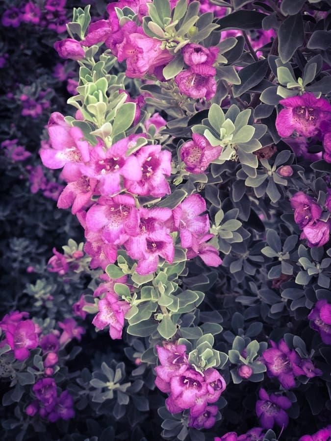 在绿色布什背景的小的紫色花 库存图片