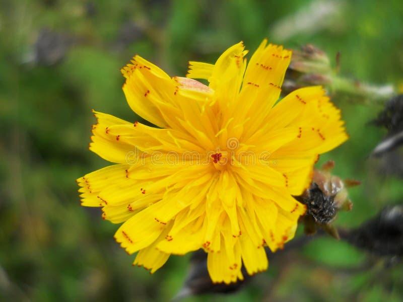 在绿色庭院背景的黄色花 免版税图库摄影