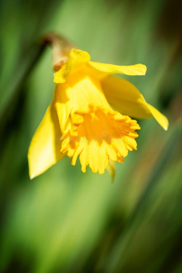 在绿色弄脏的背景前面的宏观,黄色黄水仙开花 免版税库存照片