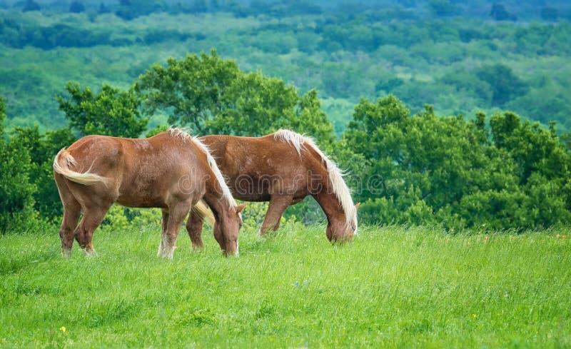 在绿色得克萨斯春天牧场地的两比利时起草 免版税库存照片