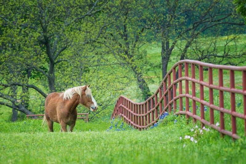 在绿色得克萨斯春天牧场地的比利时起草 库存照片