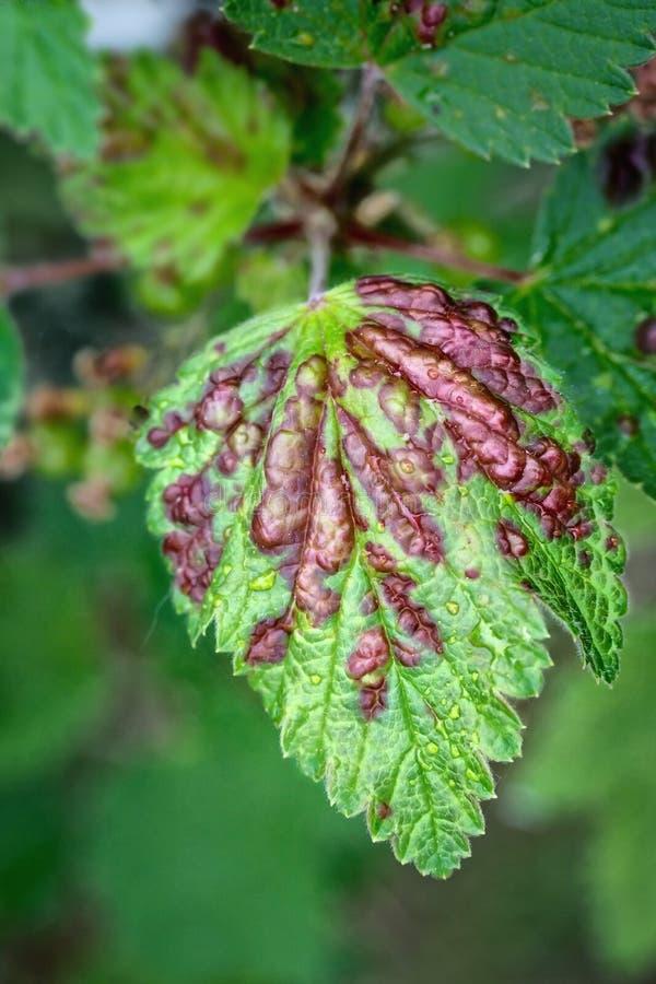 在绿色无核小葡萄干叶子的无核小葡萄干蚜虫 图库摄影