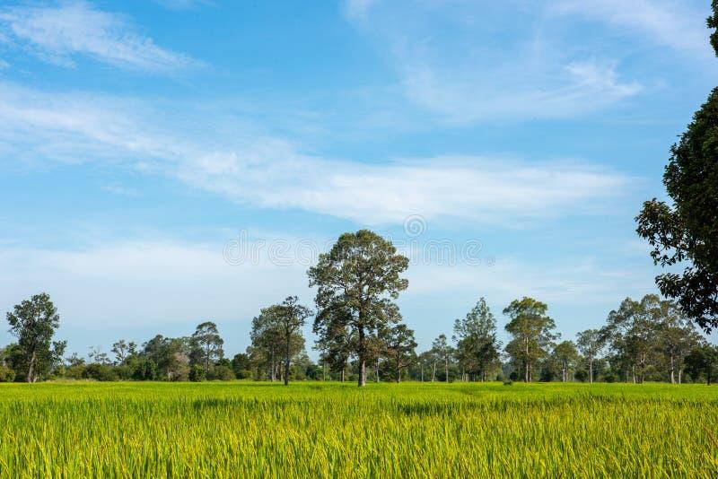 在绿色春天草甸和天空蔚蓝背景,农业谷物庄稼,美好的自然的树在泰国 图库摄影