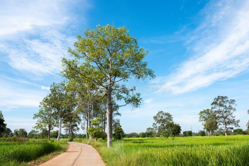 在绿色春天草甸和天空蔚蓝背景,农业谷物庄稼,美好的自然的树在泰国 库存照片
