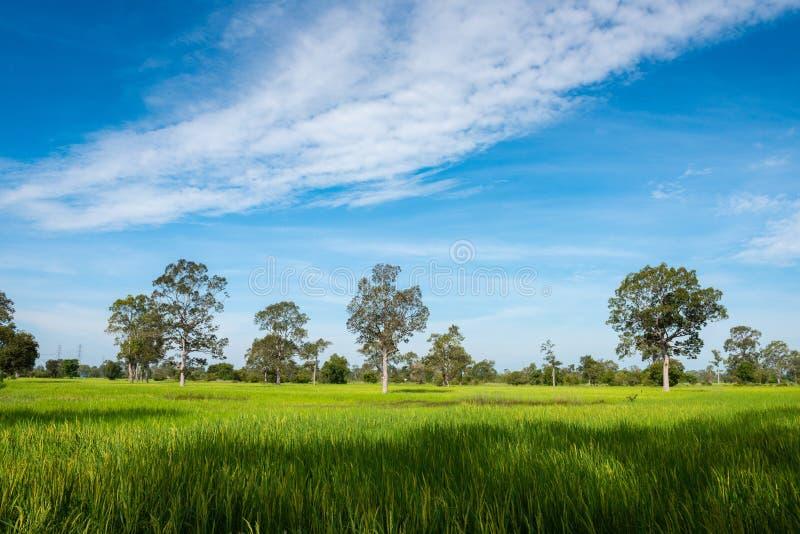 在绿色春天草甸和天空蔚蓝背景,农业谷物庄稼,美好的自然的树在泰国 免版税库存照片