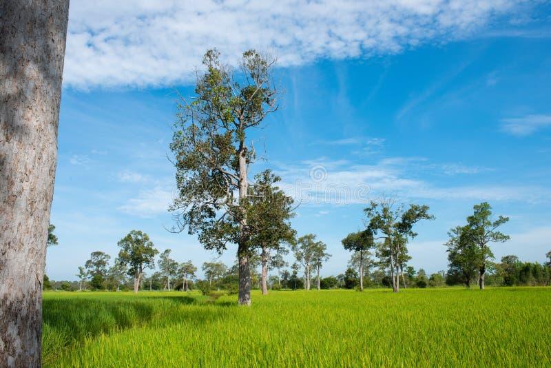 在绿色春天草甸和天空蔚蓝背景,农业谷物庄稼,美好的自然的树在泰国 库存图片