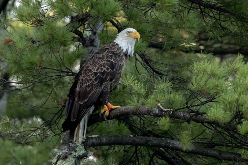 在绿色杉木的北白头鹰 免版税库存图片