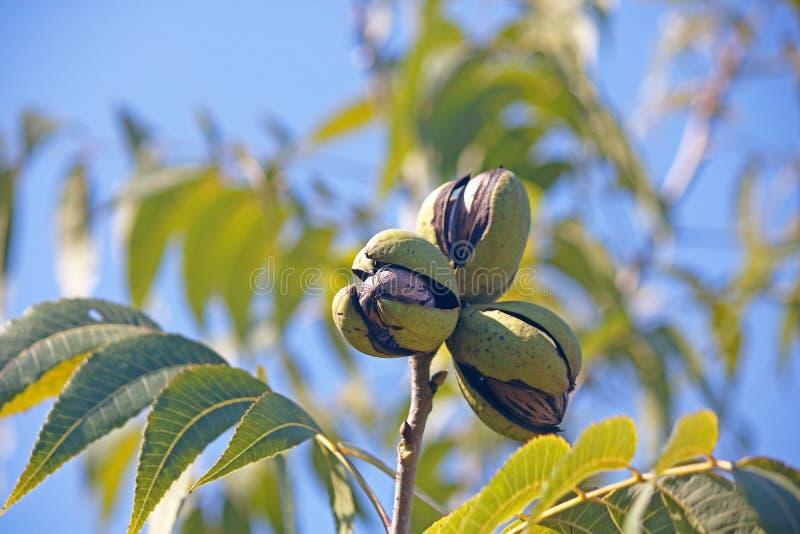 在绿色果壳的三个成熟山核桃果群在反对蓝天的一棵树 免版税库存图片