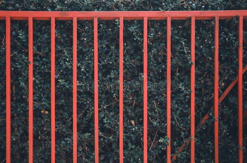 在绿色树墙壁上的红色篱芭 库存图片