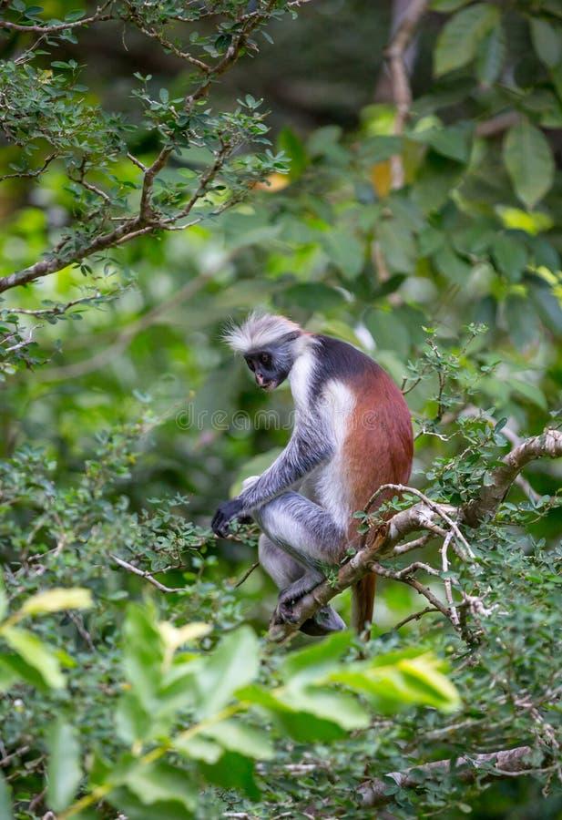 在绿色树的猴子 库存图片