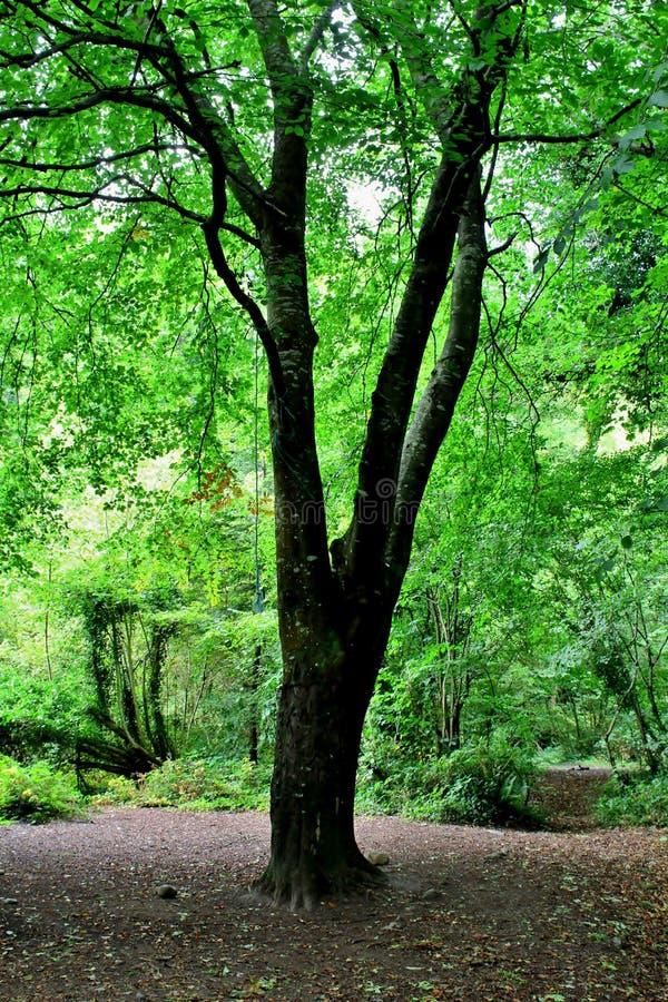 在绿色森林地机盖的山毛榉树 库存图片