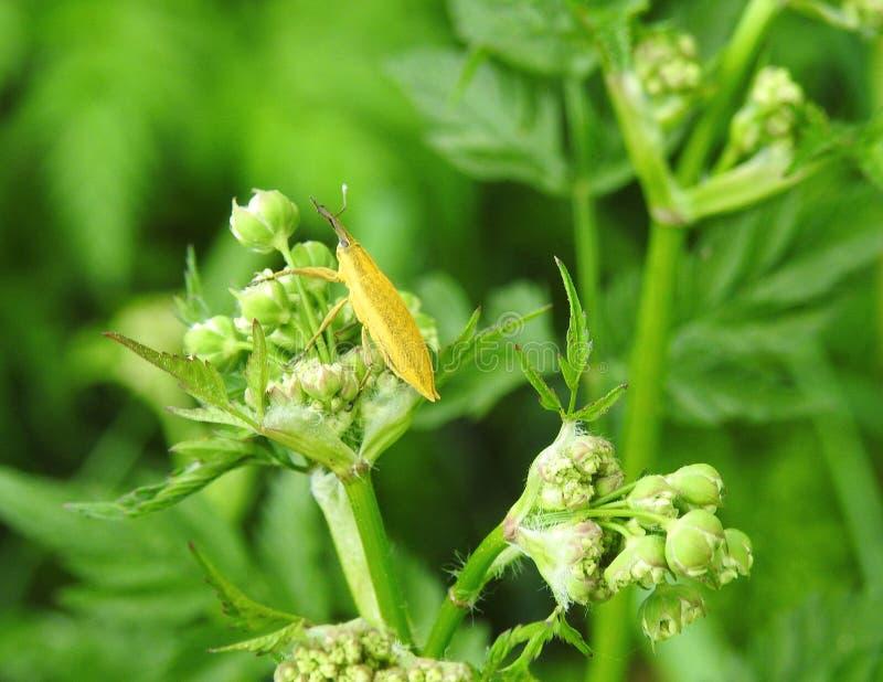 在绿色植物,立陶宛的黄色昆虫 免版税库存照片