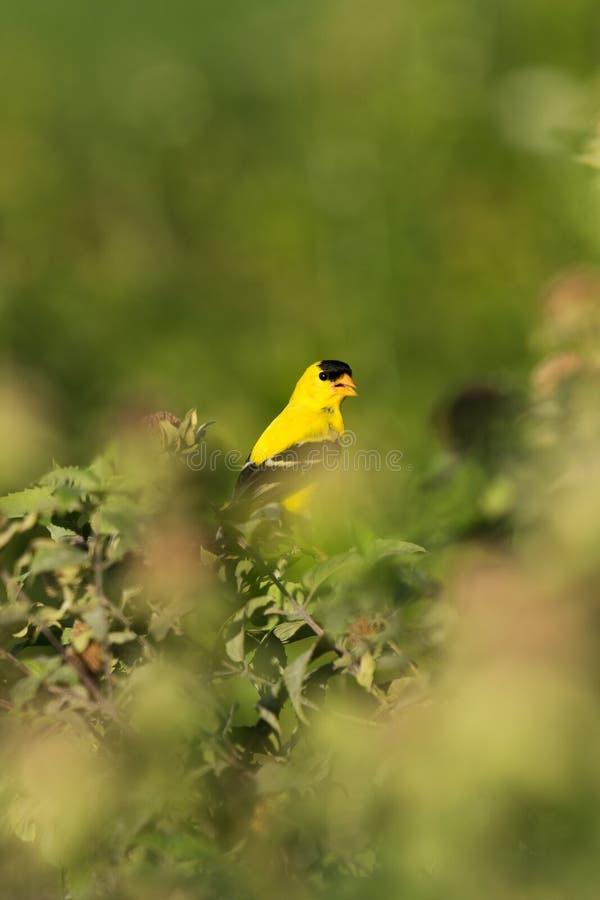 在绿色灌木和灌木被栖息的美国金翅雀,柏油村,纽约上州,NY中 库存照片