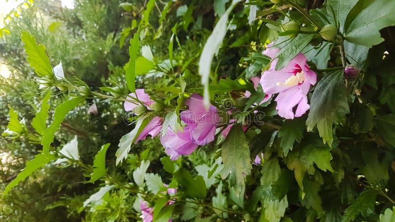 在绿色灌木的桃红色冬葵花 库存照片