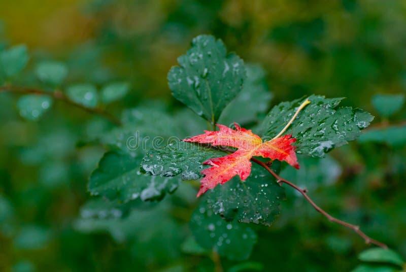 在绿色的秋天红色叶子留给背景雨珠 库存图片