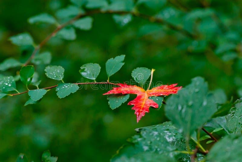 在绿色的秋天红色叶子留给背景雨珠 免版税库存图片