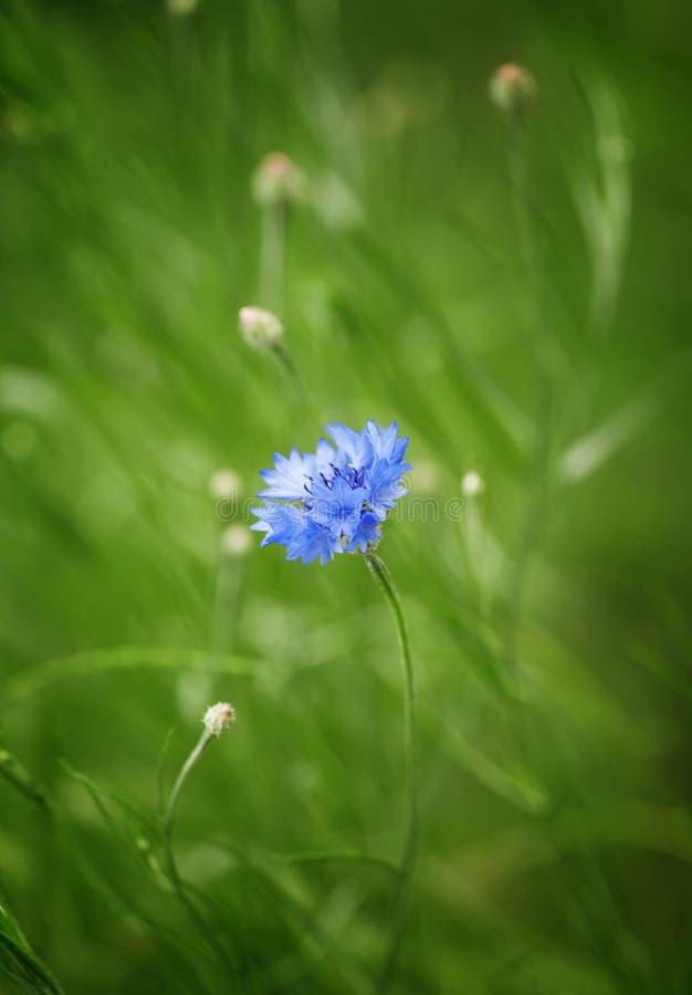 在绿色的野生蓝色矢车菊弄脏了自然背景, selecti 免版税库存图片