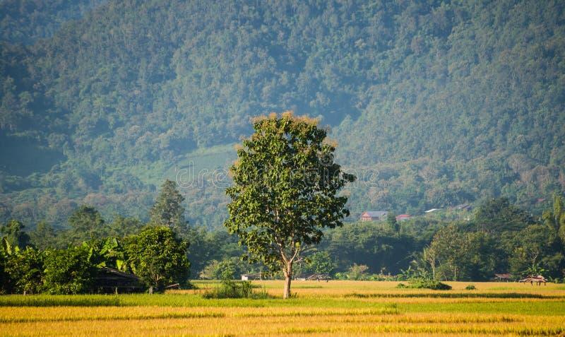 在绿色米领域的结构树 库存图片
