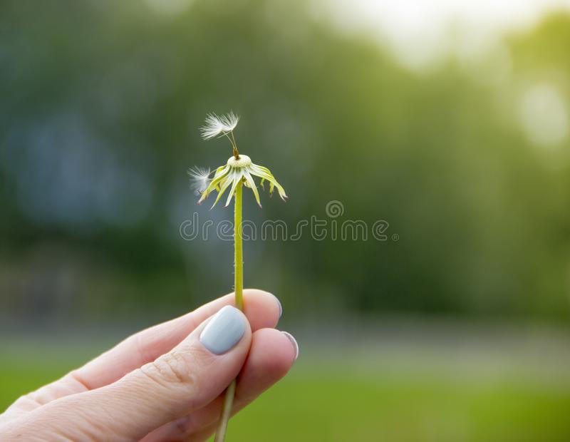 在绿色背景在手指的一只手拿着与两颗蓬松种子的一个花蒲公英 免版税库存图片