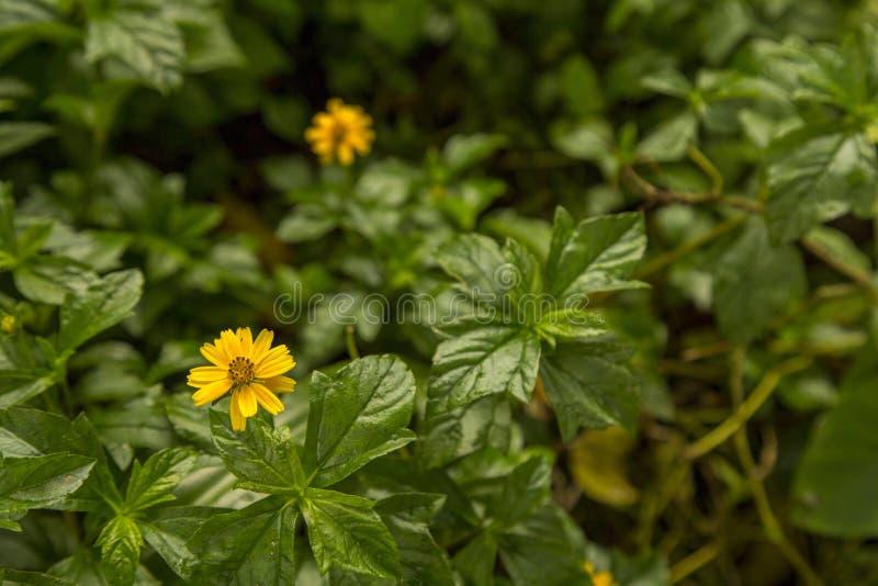 在绿色背景孟加拉国的黄色森林花 免版税库存图片